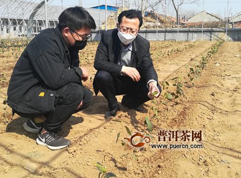 """青岛西海岸新区:""""北茶36""""移栽建园成功!"""