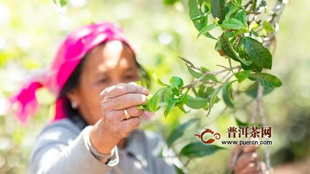 吉普号2020茶山播报 01:88万老班章茶王树,今年为啥不摘了?