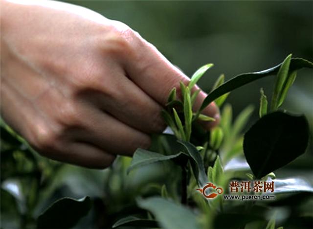 """好喝的绿茶有哪些?信阳毛尖荣获""""茶王""""称号!"""