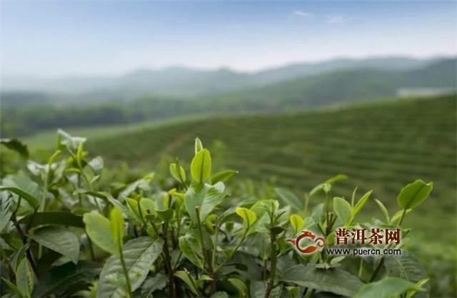 英德红茶历史溯源,英德红茶的诞生之路!