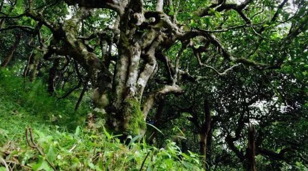 茶王树的消亡史,你不知道的茶王树死亡档案