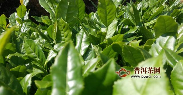 乌龙茶和绿茶是一种茶树吗