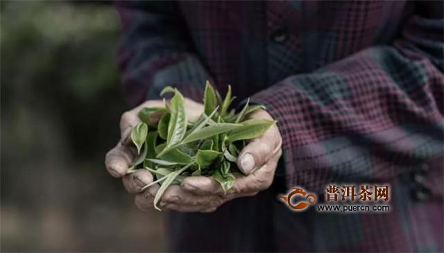 云南滇红古树红茶,有四大特点!
