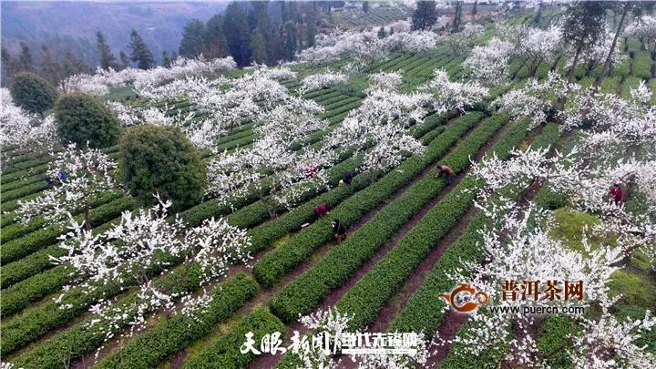 春茶破局,脱贫在望!一季度贵州省春茶生产实现开门红