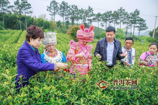 浙江安吉黄杜村捐赠茶苗,先富帮后富、 白茶传佳话