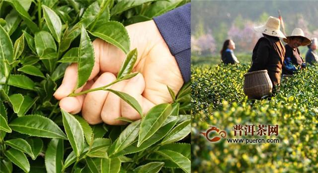 黑茶五大产区:湖南、湖北、四川、云南、广西