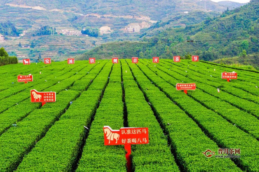铁观音开茶节|龙头茶企八马茶业助力茶区复工复产