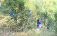 西双版纳勐腊:天气干旱 普洱春茶推迟上市