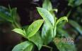 """双江茶山""""换新装""""春茶生产有序推进"""