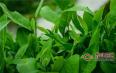 猴魁属于红茶还是绿茶