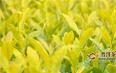 黄金芽属于红茶还是绿茶