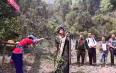 景东五棵桩茶园开釆,茶叶拍卖6.6万元/公斤!