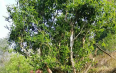 云南施甸尖山村 让布朗山寨的野生古树茶走出了大山
