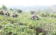 宁洱春茶正式开采县领导直播间带货