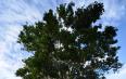 世界上第一棵过渡型古茶树的发现