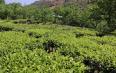 云南龙陵腊勐镇长箐村:春茶采摘促增收
