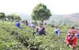 宁洱县2020年春茶开采仪式暨网络直播助脱贫活动