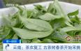 云南临沧:茶农复工 古茶树春茶开始采摘