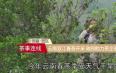 云南双江春茶开采 政府助力茶企茶农复工复产