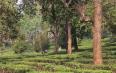关注勐海坝区茶叶生产  探索茶园提质增效途径