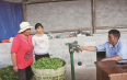 龙陵县10万亩春茶开采