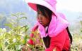 梁河小厂发展茶叶产业带富山区群众