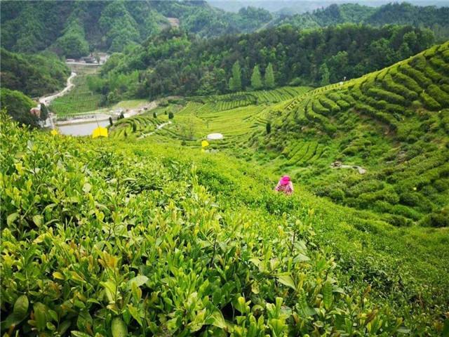 湖北丹江口市:茶产业扶贫动能强