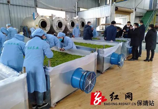 2020年保靖黄金茶产业春茶产值近7.5亿元