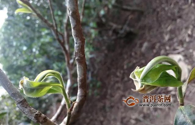 老徐谈茶 2020春茶季结束!普洱茶三大产区的行情与品质如何?