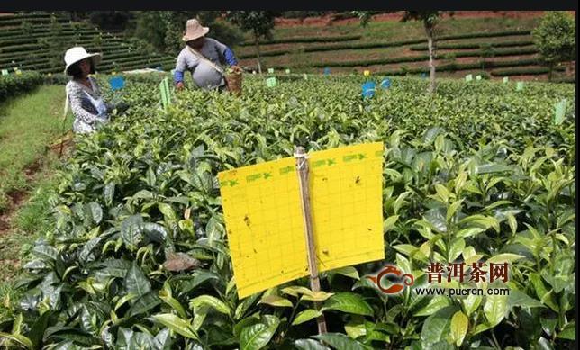 夏季茶园主要病虫害防治技术