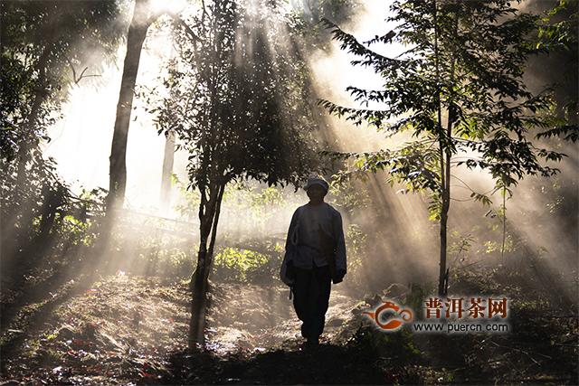 兴海茶:老班章 滋味的故事