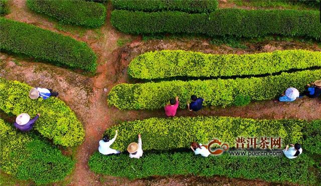 武夷山:一片茶叶 三代人的坚守