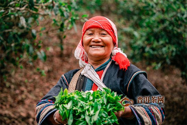 兴海茶:老班章 人生里的一杯茶
