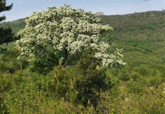 河北迁安500余岁古茶树花开正盛