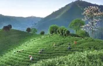 生态美 产业兴 百姓富,安吉白茶让荒山变金山