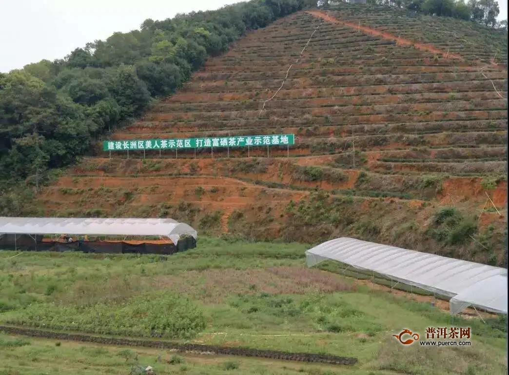 长洲区两大茶业项目异军突起:东方美人茶、摩天茶海今年都有大动作!