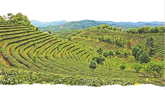 """普洱思茅区全力推进""""一县一业""""示范县创建 茶产业迎来新机"""