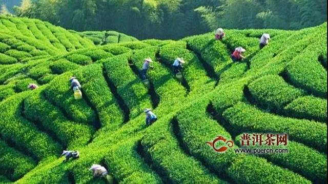 吉普号茶山黑话177:从无人问津到万人追捧!山头古树茶如何逆袭登顶?