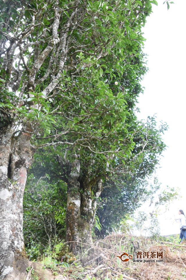 古树、野生、生态、台地,这些都是普洱茶吗?