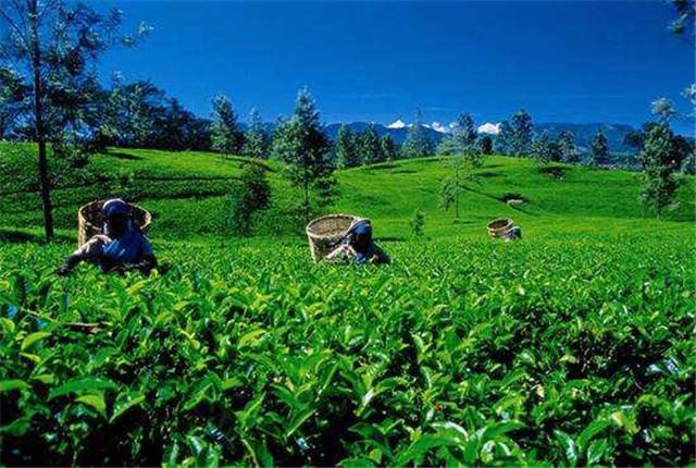 斯里兰卡:百年茶叶拍卖在疫情中 迈入电子时代