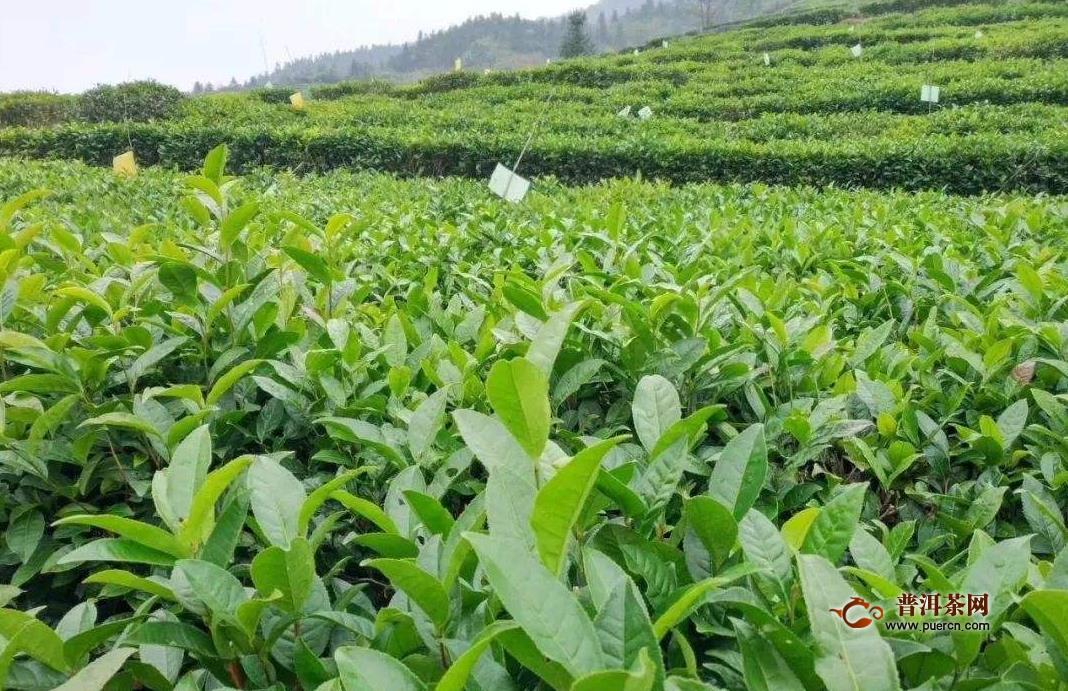 茯茶原产区,