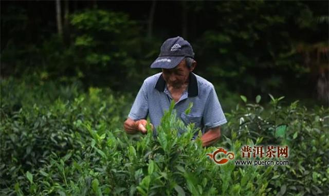 正宗祁门红茶产地,从大的范围来说有三个!