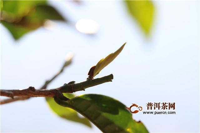 【普洱茶新手入门知识】普洱茶的产地