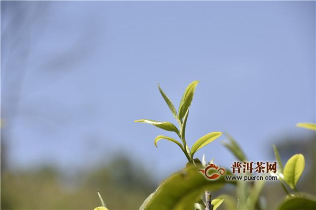 【普洱茶新手入门知识】云南普洱茶的四大茶区