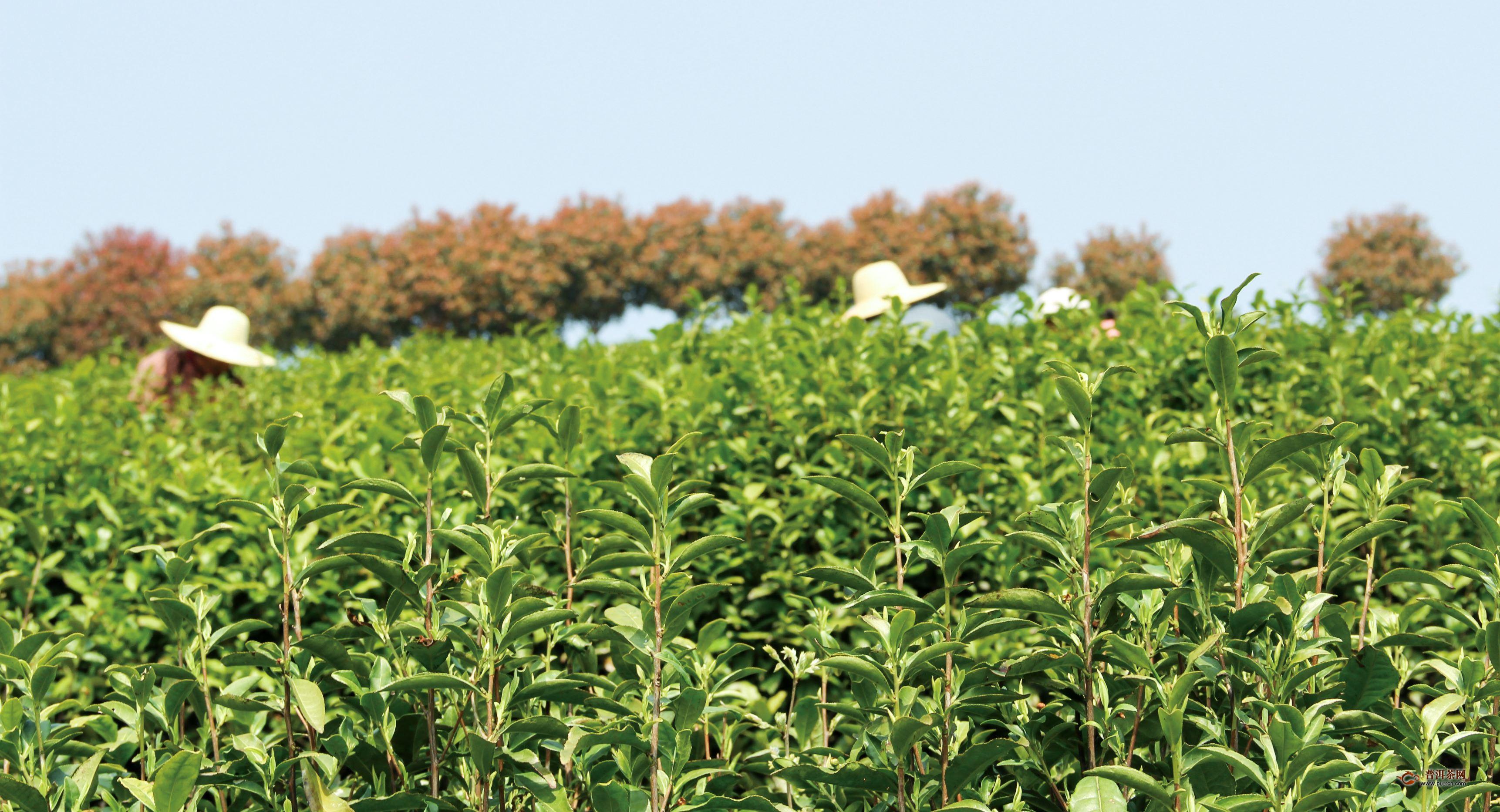 四川春茶采摘即将收尾,产量预计超去年