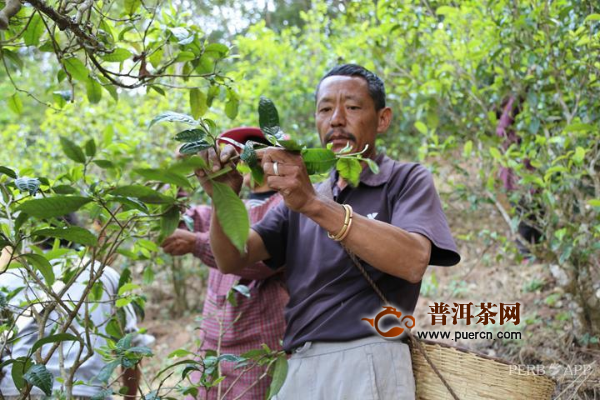 """凤凰窝古茶园:""""专业合作社+"""" 加出茶农""""聚宝盆"""""""