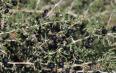 野生黑枸杞多少钱一斤