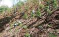 曼播新寨:村民主动清除林下非法种植茶叶