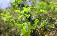 临沧忙肺村:增收的文章从茶叶做起