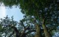 罗东山1号茶树是至今发现世界上最粗大的野生型大茶树